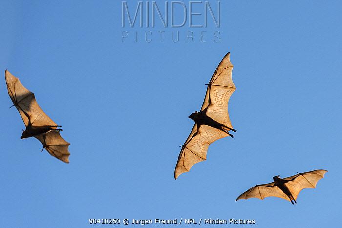 Little red flying-foxes (Pteropus scapulatus) in flight, Wild River, Heberton, Australia  -  Jurgen Freund/ npl