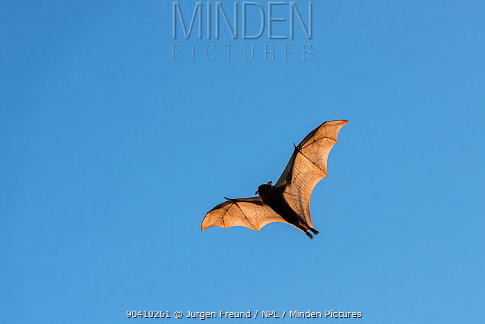 Little red flying-fox (Pteropus scapulatus) in flight, Wild River, Heberton, Australia  -  Jurgen Freund/ npl