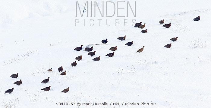 Red grouse (Lagopus lagopus scoticus), large group on snow-covered moorland, Scotland, UK, December  -  Mark Hamblin/ npl