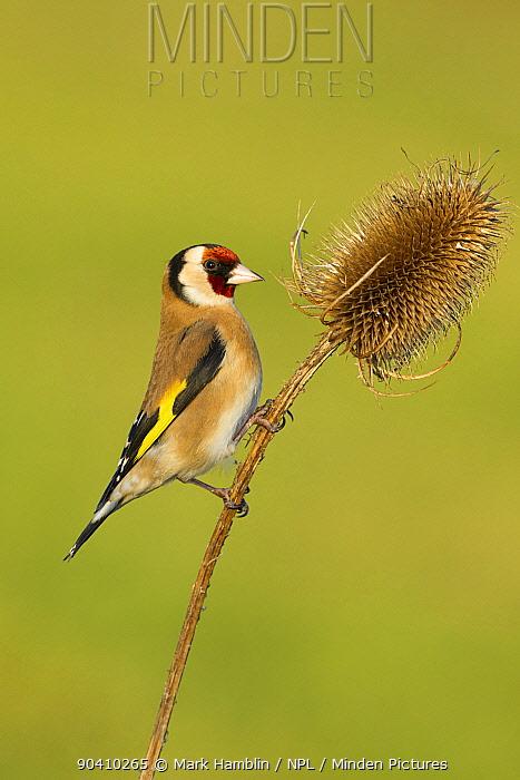 Goldfinch (Carduelis carduelis) adult feeding on teasel seeds, UK, February  -  Mark Hamblin/ npl