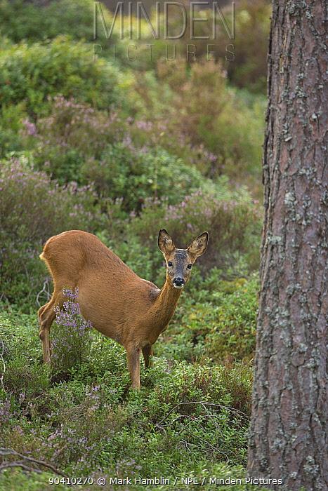 Roe deer (Capreolus capreolus) doe in pine woodland, Cairngorms National Park, Scotland, UK, August  -  Mark Hamblin/ npl
