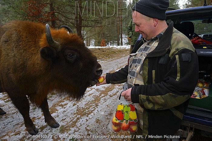 Artur Furdyna feeding apples to wild European bison (Bison bonasus), Drawsko Military area, Western Pomerania, Poland, February 2014  -  WWE/ Widstrand/ npl