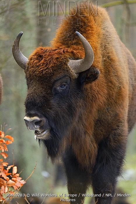 European bison (Bison bonasus), Drawsko Military area, Western Pomerania, Poland, February  -  WWE/ Widstrand/ npl