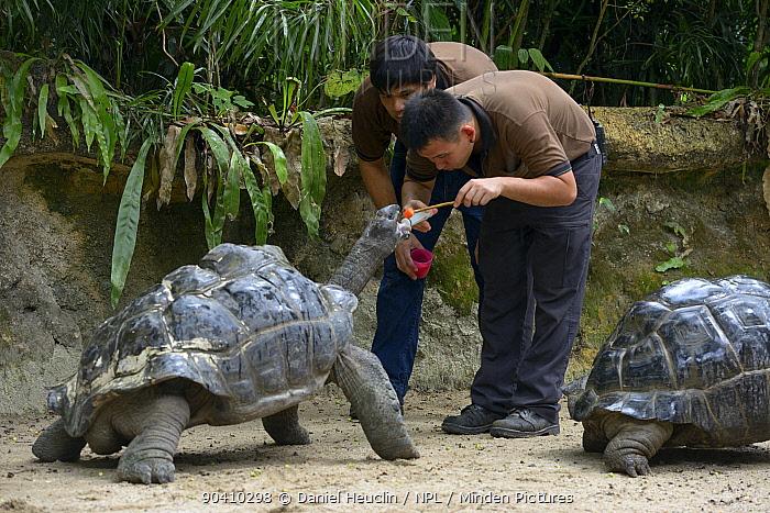 Aldabra giant tortoise (Geochelone gigantea), keepers administrating worming medicine Captive Occurs on the Aldabra atoll, Seychelles  -  Daniel Heuclin/ npl