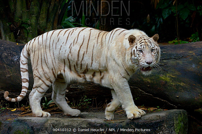 White bengal tiger (Panthera tigris tigris) Captive Double recessive gene produces pale colour morph Original wild individuals occurred in India Now only found in captivity  -  Daniel Heuclin/ npl
