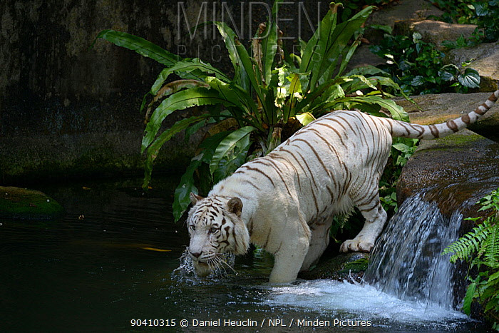 White bengal tiger (Panthera tigris tigris) entering water Captive Double recessive gene produces pale colour morph Original wild individuals occurred in India Now only found in captivity  -  Daniel Heuclin/ npl