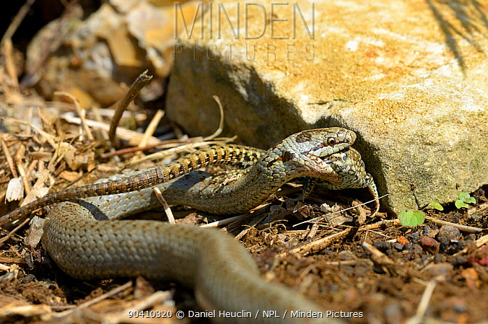 Smooth snake (Coronella austriaca) feeding on a wall lizard West France, April  -  Daniel Heuclin/ npl