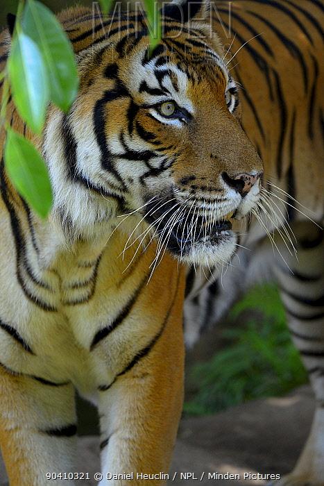 Malayan tiger (Panthera tigris jacksoni), Malaysia Captive An Endangered species, only around 500 remain  -  Daniel Heuclin/ npl