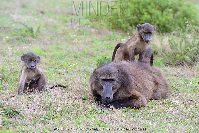 Chacma baboon (Papio ursinus) male and juveniles De Hoop Nature Reserve, Western Cape, South Africa  -  Tony Phelps/ npl