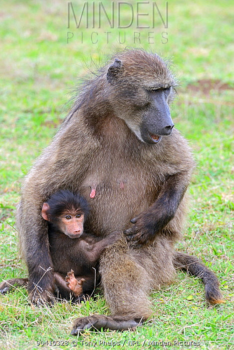 Chacma baboon (Papio ursinus) female with infant De Hoop Nature Reserve, Western Cape, South Africa  -  Tony Phelps/ npl