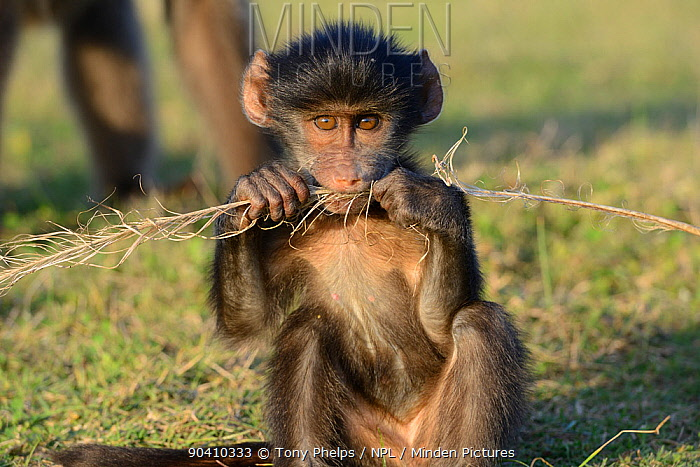 Chacma baboon (Papio ursinus) infant playing with ostrich feather De Hoop Nature Reserve, Western Cape, South Africa  -  Tony Phelps/ npl