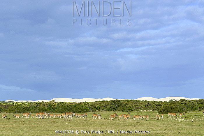 Eland (Tragelaphus oryx) herd and dunes De Hoop Nature Reserve, Western Cape, South Africa  -  Tony Phelps/ npl