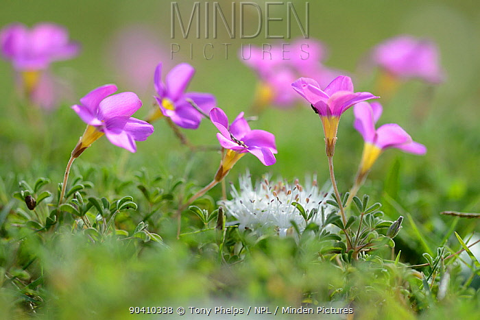 Grand Duchess sorrel (Oxalis pes-caprae) and Hedgehog lily (Massonia sp) De Hoop Nature Reserve, Western Cape, South Africa  -  Tony Phelps/ npl