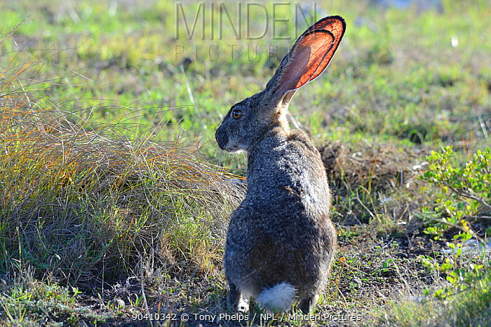 Cape hare (Lepus capensis) sitting in grassy fynbos De Hoop Nature Reserve, Western Cape, South Africa  -  Tony Phelps/ npl