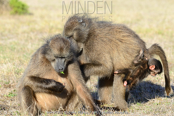 Chacma baboon (Papio ursinus) infant with females De Hoop Nature Reserve, Western Cape, South Africa  -  Tony Phelps/ npl
