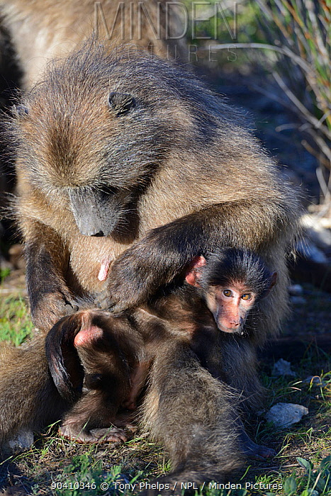 Chacma baboon (Papio ursinus) mother grooming infant De Hoop Nature Reserve, Western Cape, South Africa  -  Tony Phelps/ npl