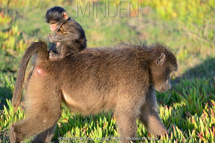 Chacma baboon (Papio ursinus) female feeding in grassy fynbos with infant riding on back De Hoop Nature Reserve, Western Cape, South Africa  -  Tony Phelps/ npl
