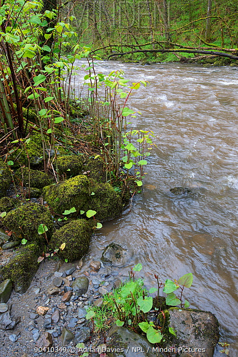 Japanese knotweed (Fallopia japonica) invasive species growing on banks of River Ifon, Powys, Wales, May  -  Adrian Davies/ npl