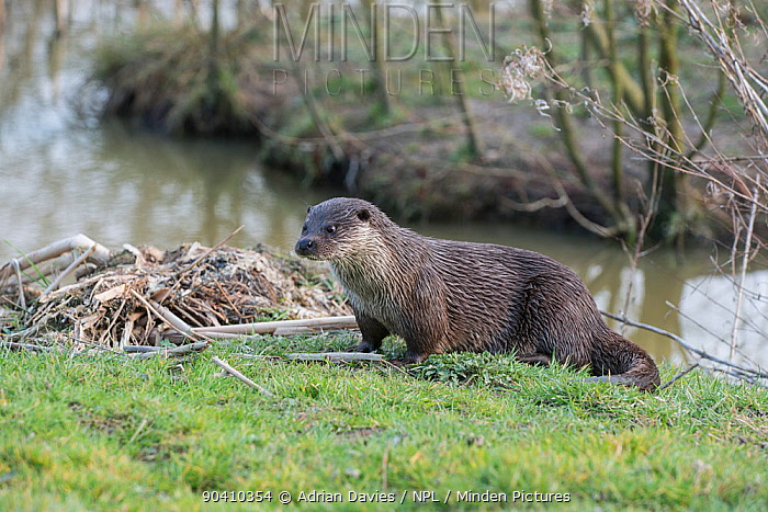 Otter (Lutra lutra), Captive Occurs in Europe, Asia and North Africa  -  Adrian Davies/ npl