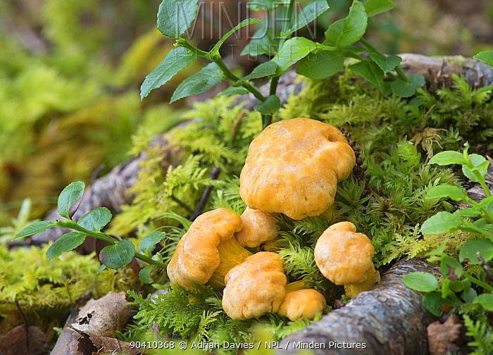 Chanterelle fungi (Cantharellus cibarius), Torriodon, Scotland, June  -  Adrian Davies/ npl