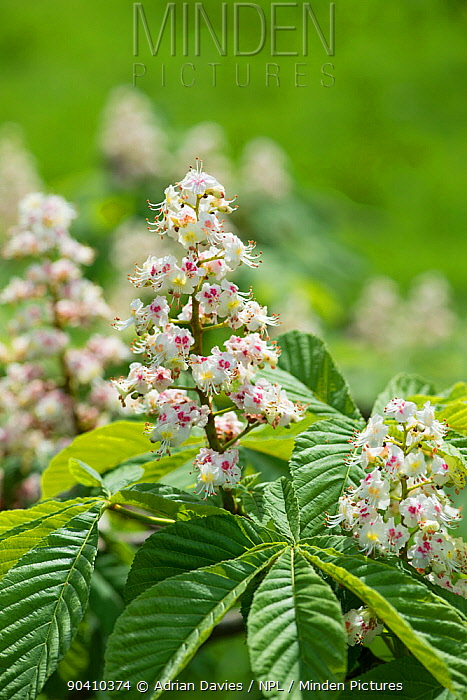 Horse chestnut (Aesculus hippocastanum) flowering in spring Surrey, England, April  -  Adrian Davies/ npl