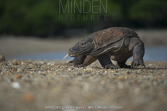 Komodo Dragon (Varanus komodoensis) walking on beach, Komodo National Park, Indonesia  -  Pedro Narra/ npl