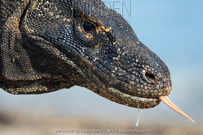 Close-up of Komodo Dragon (Varanus komodoensis) face with tongue out and saliva dripping from its mouth, Komodo National Park, Indonesia  -  Pedro Narra/ npl