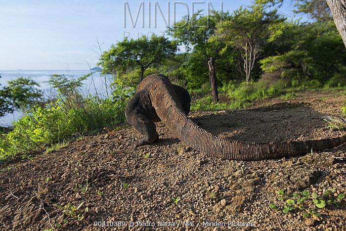 Komodo Dragon (Varanus komodoensis) walking away, Komodo National Park, Indonesia  -  Pedro Narra/ npl