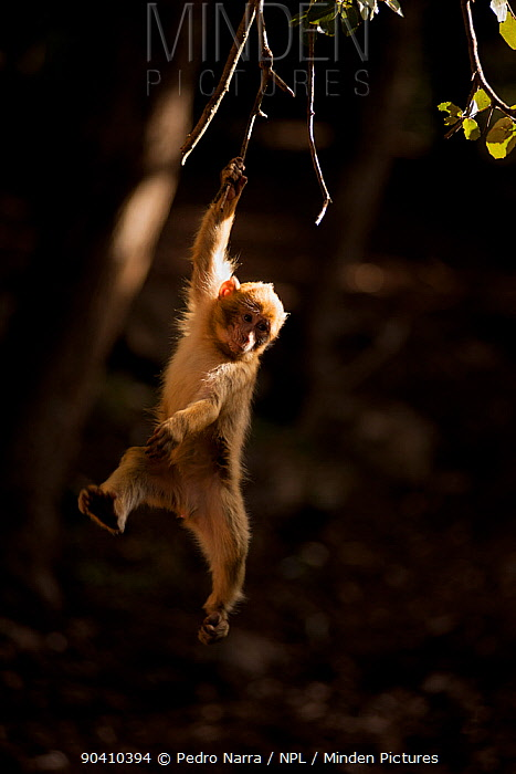 Barbary macaque (Macaca sylvanus) hanging from a branch in the cedar forests of the Middle Atlas Mountains, Morocco  -  Pedro Narra/ npl