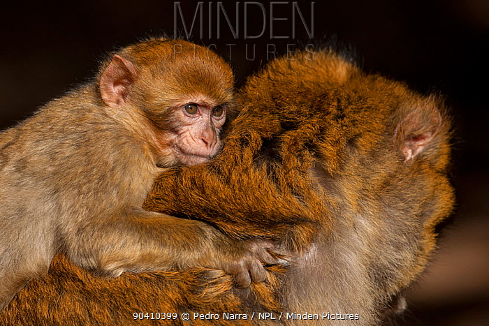 Young Barbary macaque (Macaca sylvanus) on its mothers back, Middle Atlas Mountains, Morocco  -  Pedro Narra/ npl
