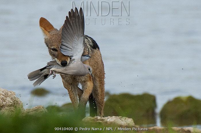 Black-backed jackal (Canis mesomelas) with freshly-caught dove prey, Etosha National Park, Namibia  -  Pedro Narra/ npl