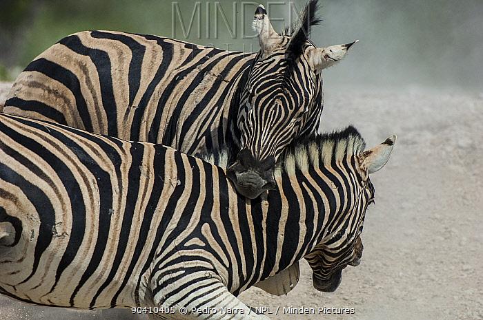 Two Plains zebras (Equus quagga, burchelli) fighting, one biting the other, Etosha National Park, Namibia  -  Pedro Narra/ npl