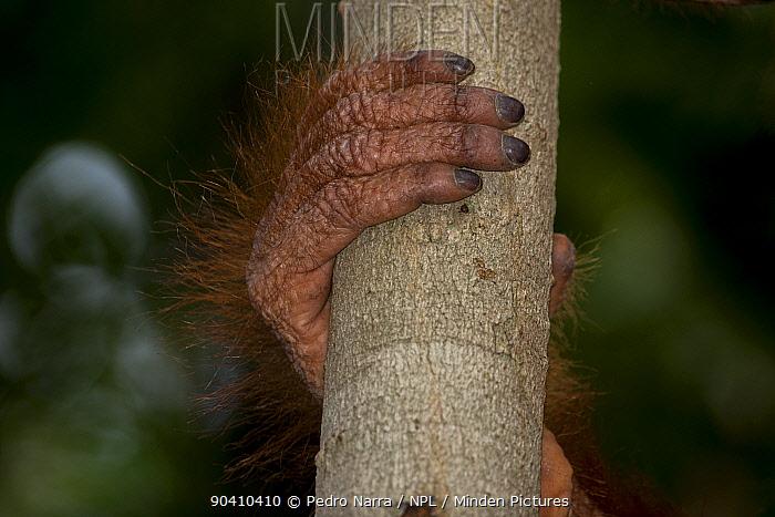 Bornean Orangutan (Pongo pygmaeus) hand and fingers holding branch, Camp Leakey, Tanjung Puting National Park, Central Kalimantan, Borneo, Indonesia  -  Pedro Narra/ npl