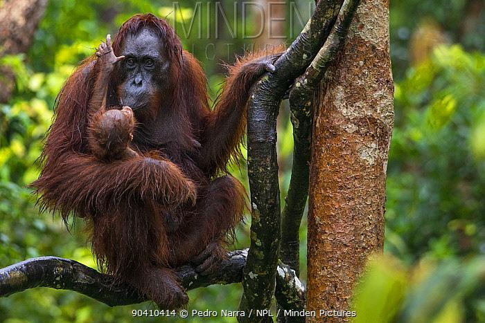Bornean Orangutan (Pongo pygmaeus) mother kissing newborn baby up a tree, Camp Leakey, Tanjung Puting National Park, Central Kalimantan, Borneo, Indonesia  -  Pedro Narra/ npl