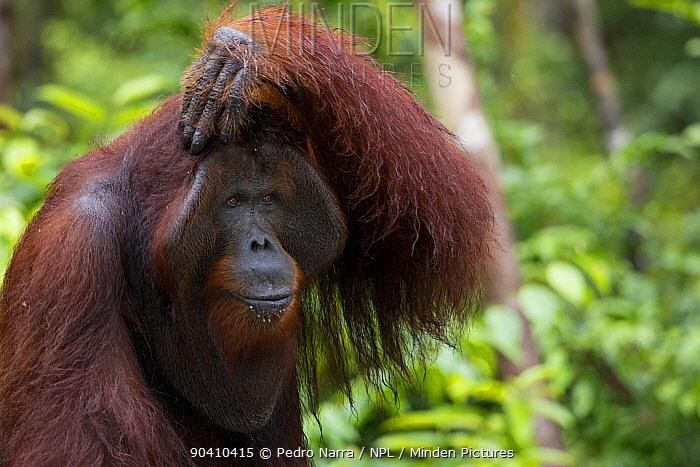 Bornean Orangutan (Pongo pygmaeus) male with hand on his head, Camp Leakey, Tanjung Puting National Park, Central Kalimantan, Borneo, Indonesia  -  Pedro Narra/ npl