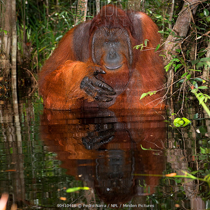 Bornean Orangutan (Pongo pygmaeus) male sitting in water about to drink, Camp Leakey, Tanjung Puting National Park, Central Kalimantan, Borneo, Indonesia Sequence 1 of 2  -  Pedro Narra/ npl