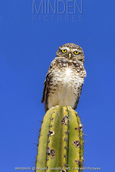 Burrowing owl (Athene cunicularia), Santa Catarina, Brazil, September  -  Angelo Gandolfi/ npl