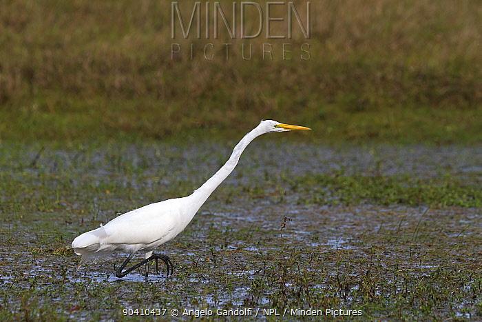 Great egret (Ardea alba), Santa Catarina State, Brazil, September  -  Angelo Gandolfi/ npl