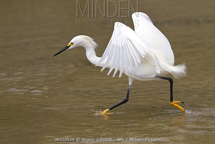 Snowy egret (Egretta thula) chasing fish, Santa Catarina State, Brazil, September  -  Angelo Gandolfi/ npl