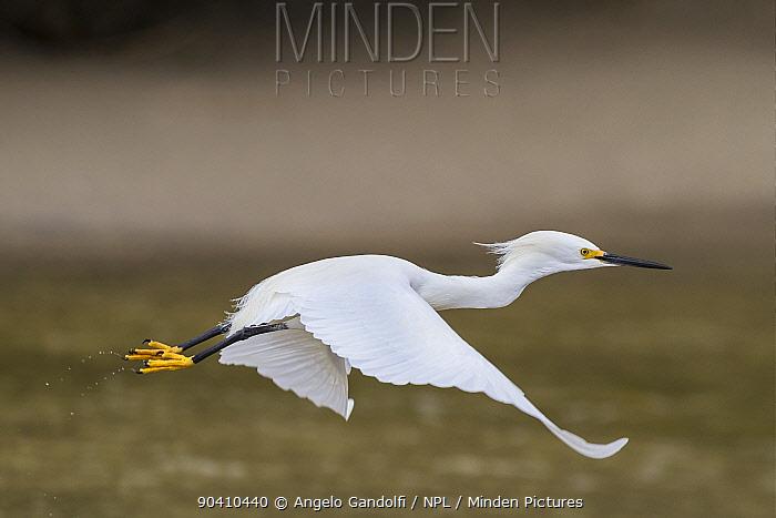 Snowy egret (Egretta thula) in flight, Santa Catarina State, Brazil, September  -  Angelo Gandolfi/ npl