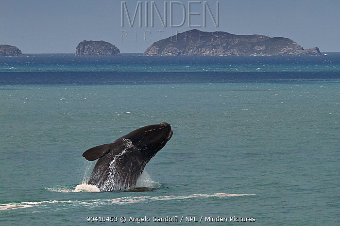 Southern right whale (Eubalaena australis) breaching, Santa Catarina, Brazil, September  -  Angelo Gandolfi/ npl