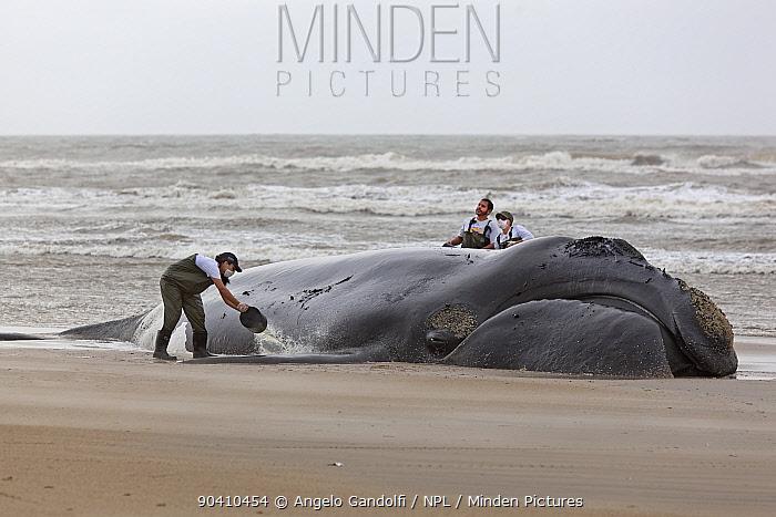 Southern right whale (Eubalaena australis), stranded and dying, Santa Catarina, Brazil, September  -  Angelo Gandolfi/ npl
