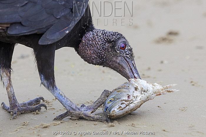 Black vulture (Coragyps atratus) eating fish on beach, Santa Catarina State, Brazil, September  -  Angelo Gandolfi/ npl