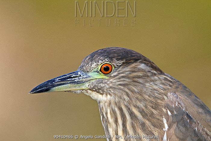 Black-crowned night heron (Nycticorax nycticorax), immature, Santa Catarina State, Brazil, September  -  Angelo Gandolfi/ npl