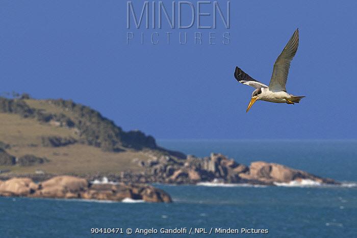 Large-billed tern (Phaetusa simplex) in flight by coast, Santa Catarina, Brazil, September  -  Angelo Gandolfi/ npl