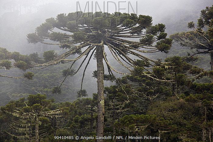 Parana pine (Araucaria angustifolia) forest, Santa Catarina, Brazil, September Critically Endangered  -  Angelo Gandolfi/ npl