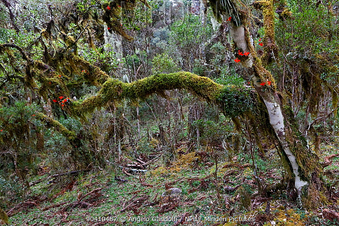 Mosses, lichens and epiphytic orchids (Cattleya sp) in the undergrowth of a Parana pine (Araucaria angustifolia) forest Santa Catarina, Brazil, September  -  Angelo Gandolfi/ npl