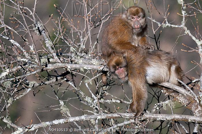 Assamese macaques (Macaca assamensis) grooming in tree, Tawang, Arunachal Pradesh, India  -  Bernard Castelein/ npl