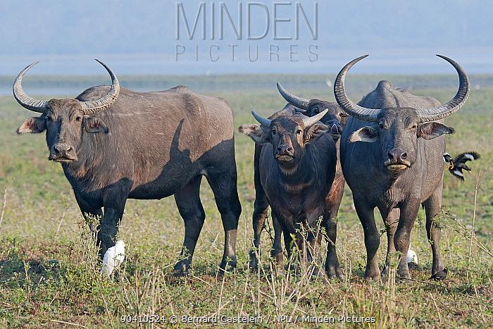 Indian wild buffalo (Bubalus arnee, Bubalus bubalis), Kaziranga National Park, Assam, India  -  Bernard Castelein/ npl