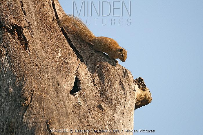 Orange-bellied Himalayan squirrel (Dremomys lokriah), Kaziranga National Park, Assam, India  -  Bernard Castelein/ npl